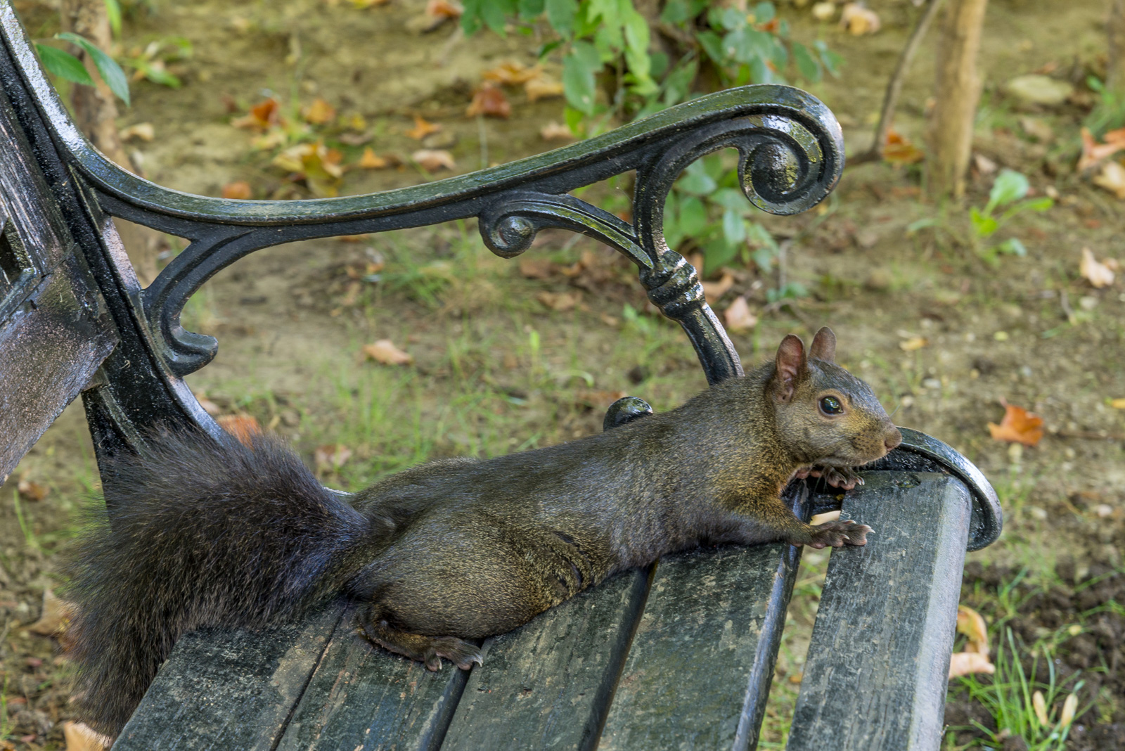 Squirrel resting